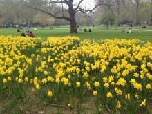 Daffodils in St James Park